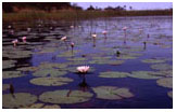 waterlilies, Botswana ©claire foottit